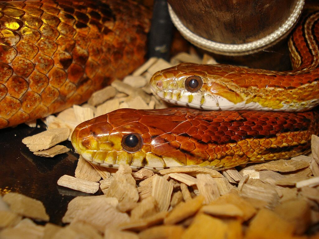 Snake Picture - Shaggy and Alice lazing together in the viv...