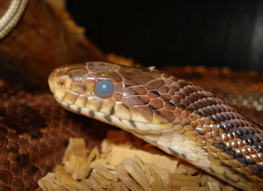 Snake Picture - Shaggy in the blue eyed stage of pre-shedding...