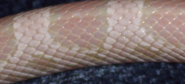 Snake Picture - A closeup of a of Nevada, a corn snake owned by Mae.
