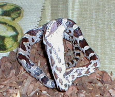 Snake Picture - An anerythristic corn snake - a short series of pictures of him feeding.
