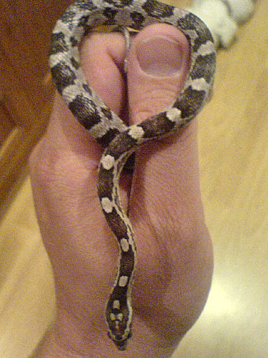 Snake Picture - Another anerythristic corn snake.