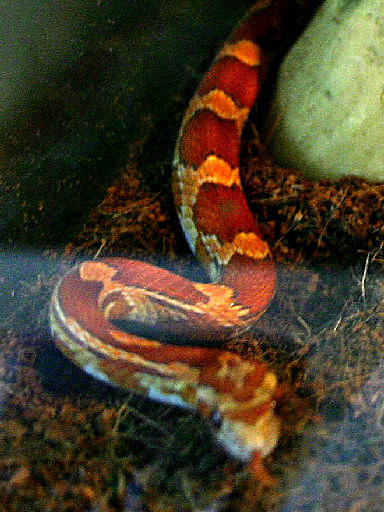 Snake Picture - Hiding in the viv...