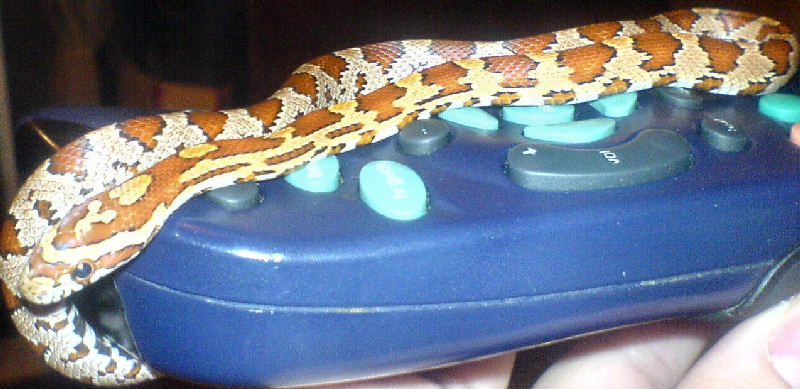 Snake Picture - This is Mr Jengles commandeering the TV remote - they are really fussy about what they watch.