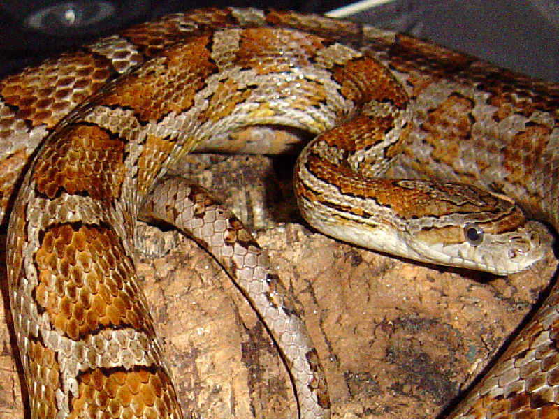Snake Picture - A corn snake, belonging to Dubb.