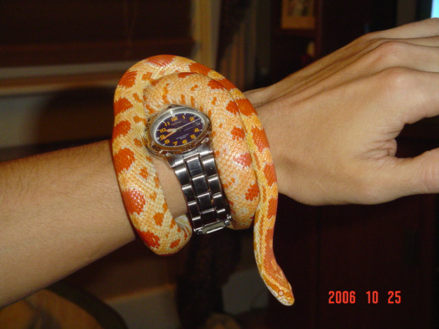 Snake Picture - And now the opposite - an amel corn snake, belonging to CC...