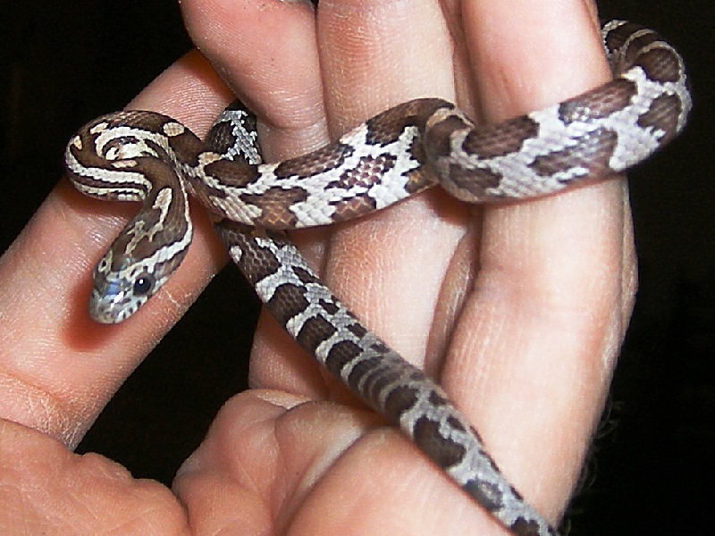 Snake Picture - An anery hatchling belonging to Jason.