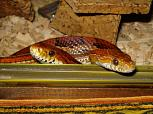 Corn Snake Picture